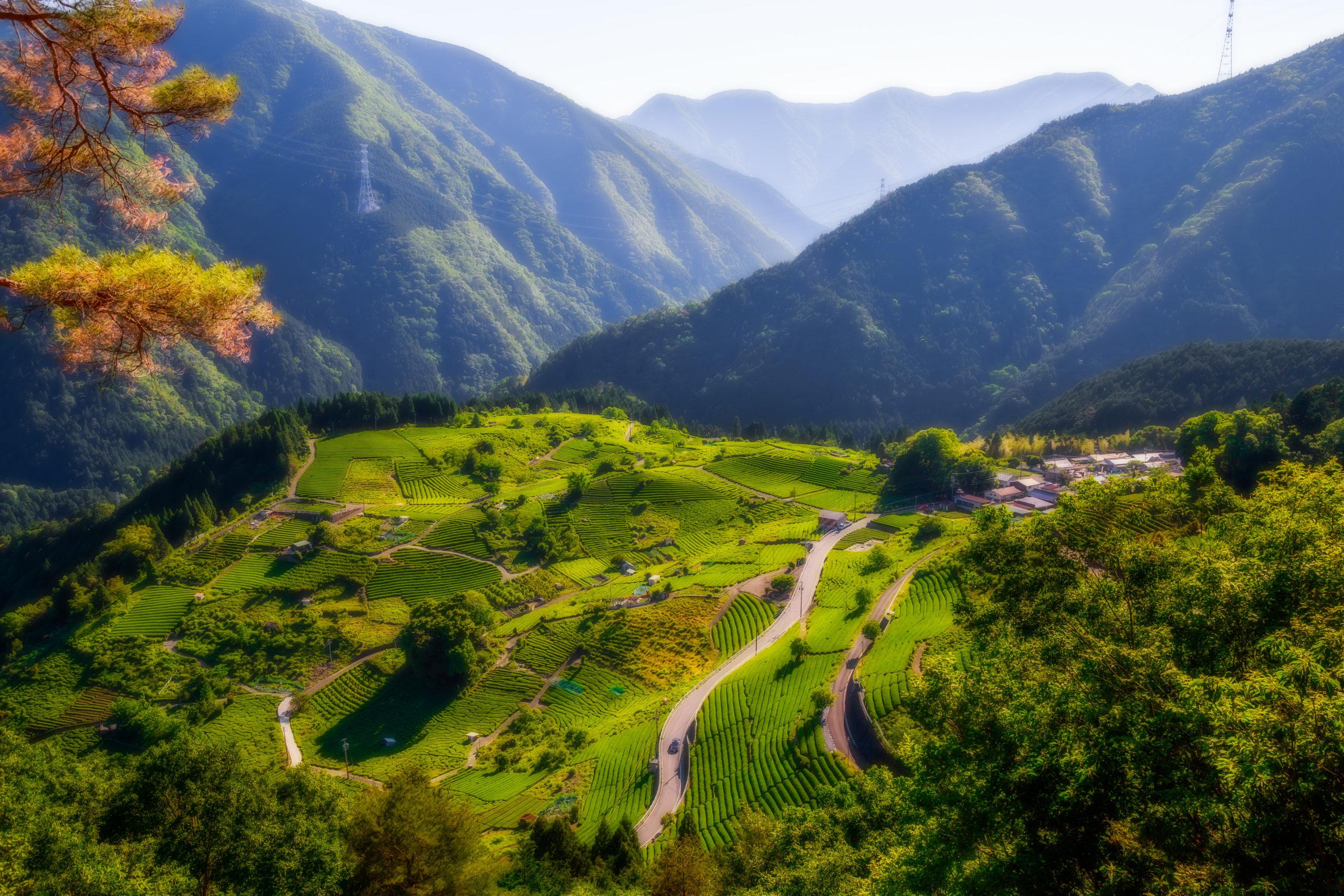 天空の茶畑(岐阜県揖斐郡揖斐川町)  風景撮影の画像